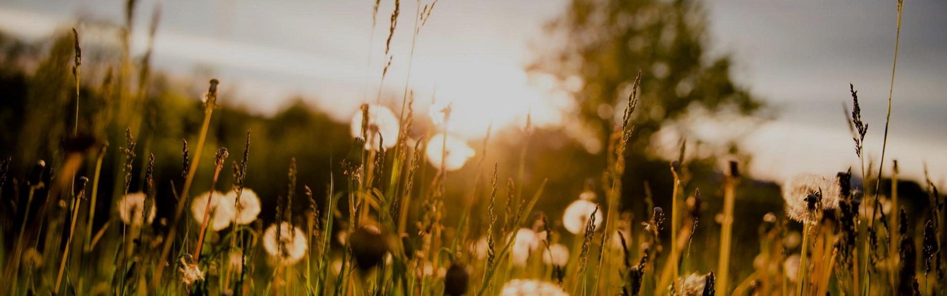 Solnedgång blomäng